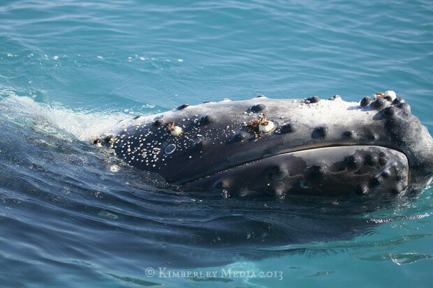 A humpback whale displays a load of lice and barnacles.